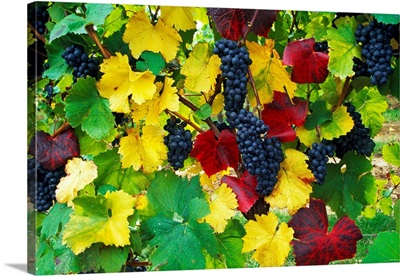 Wine grapes on vine, autumn color, Willamette Valley, Oregon, united states,