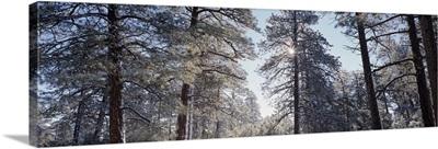Winter sunlight through pine trees Grandview Pt Grand Canyon National Park AZ