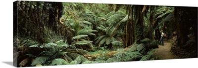 Woman standing in a forest, Temperate Rainforest, Tarra Bulga National Park, Victoria, Australia