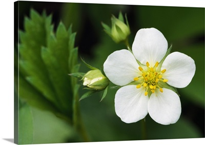Woodland strawberry flower blossom (Fragaria vesca), close up, New York
