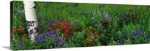 Wyoming, Yellowstone Park, wild flowers