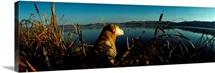 Yellow Labrador Retriever Duck Hunting MT