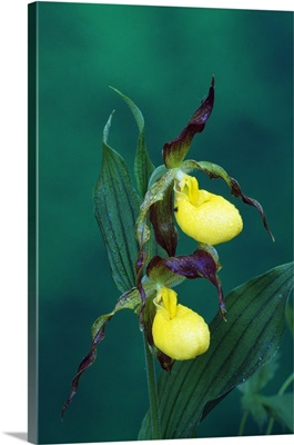 Yellow ladyslipper orchid flower blossoms, close up, Michigan