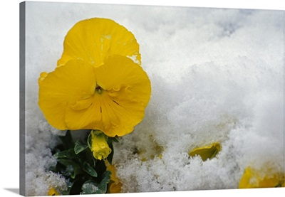 Yellow pansy flower blossom in spring snow.