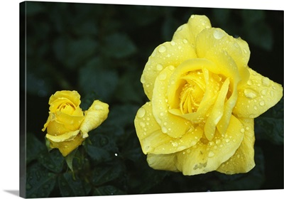 Yellow rose flowers blooming, close up.