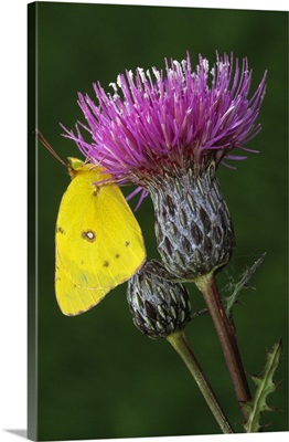 Yellow sulfur butterfly on thistle blossom, close up, Michigan