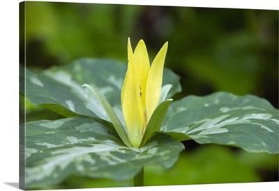 Yellow trillium flower (Trillium luteum) in bloom, close up, Tennessee