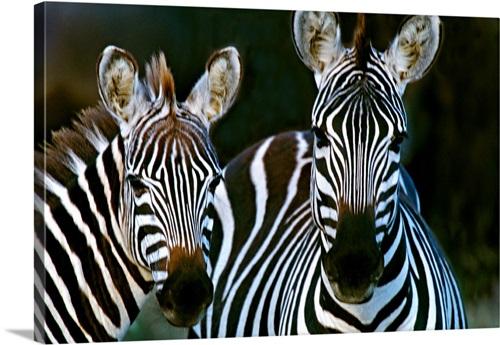 Zebras Africa Wall Art Canvas Prints Framed Prints Wall Peels Great Big Canvas
