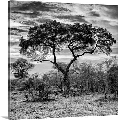 Acacia Tree at Sunrise Black and White