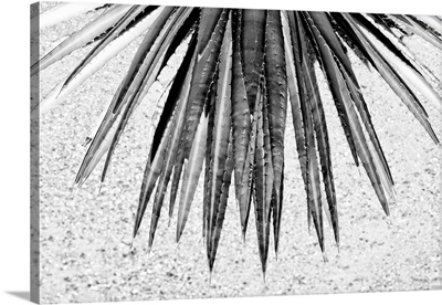 Black And White Arizona Collection - Aloe Vera