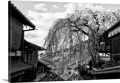 Black And White Japan Collection - Kyoto Cherry Blossoms