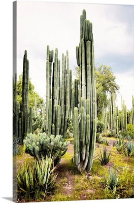 Cardon Cactus IV