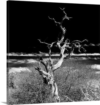 Dead Acacia Tree II Black and White