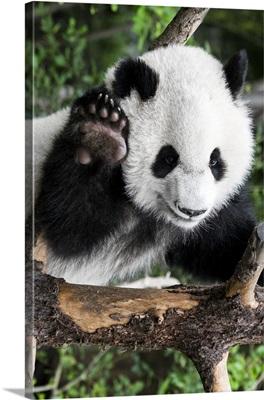 Giant Panda Baby