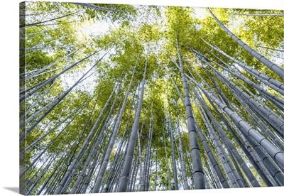 Japan Rising Sun Collection - Arashiyama Bamboo