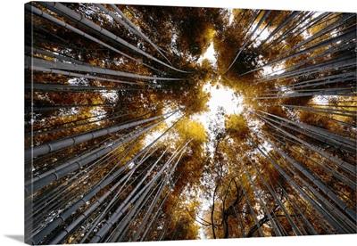 Japan Rising Sun Collection - Arashiyama Bamboo Forest II