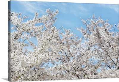 Japan Rising Sun Collection - Famous Cherry Blossom Trees