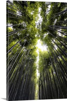 Japan Rising Sun Collection - Sagano Bamboo Forest