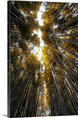 Japan Rising Sun Collection - Sagano Bamboo Forest II