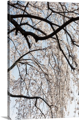 Japan Rising Sun Collection - Sakura Blossoms II