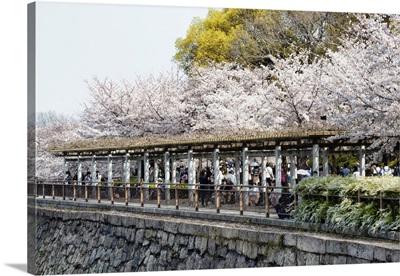 Japan Rising Sun Collection - Sakura Cherry Blossoms