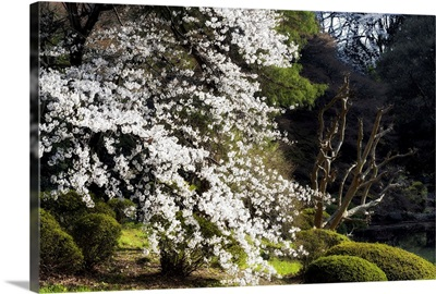 Japan Rising Sun Collection - White Sakura Blossom II