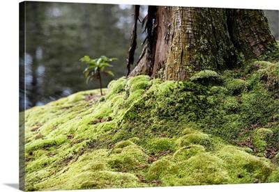 Japan Rising Sun Collection - Wild Moss