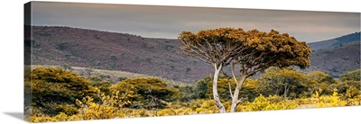 Lone Acacia Tree II