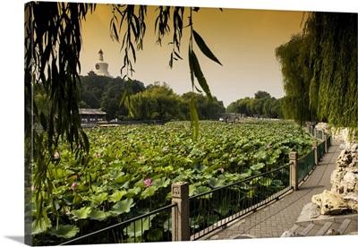 Lotus Flowers, Beihai Park