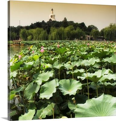 Lotus Flowers, Beihai Park, Beijing