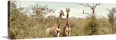 Pair of Giraffes II
