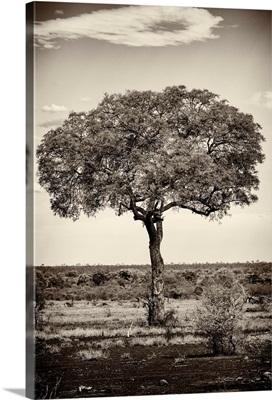 Portrait of an Acacia Tree