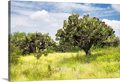 Prickly Pear Cactus II