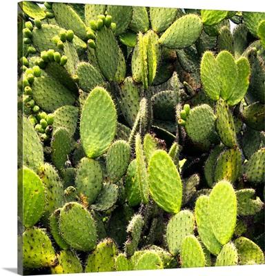 Prickly Pear Cactus V