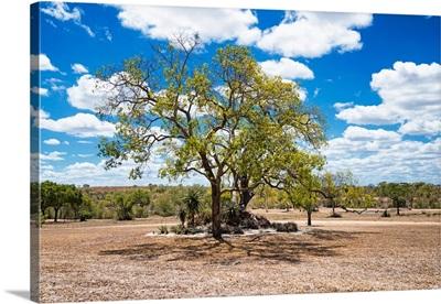 Savannah Trees IV