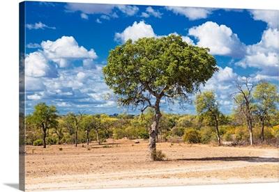 Savannah Trees V