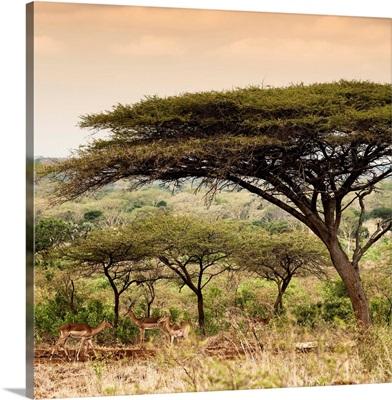 Umbrella Acacia Tree at Sunset
