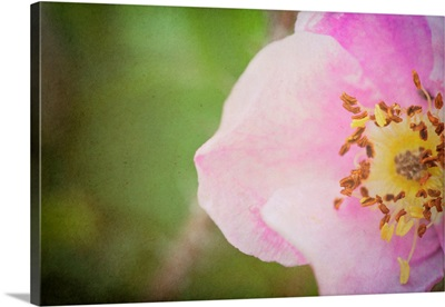 A Rose So Sweet