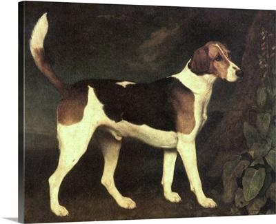 Ringwood, a Brocklesby Foxhound