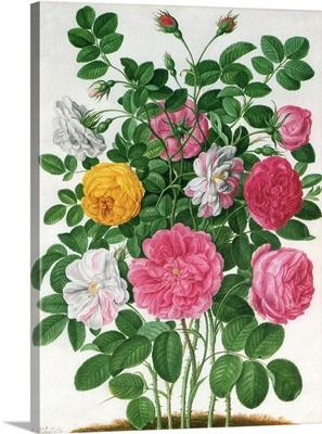 Rose Botanical