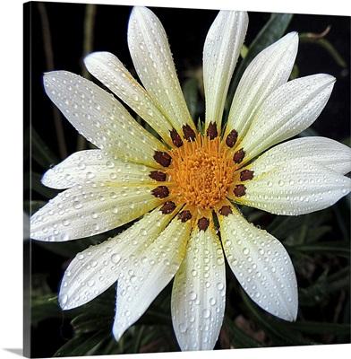 Asymmetrical White Gerbera
