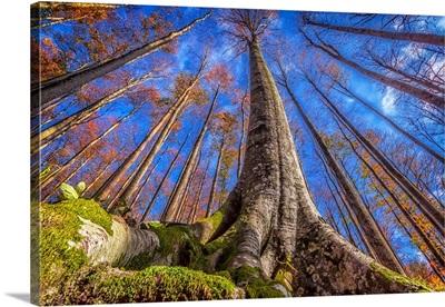 Beech Tree in the Fall