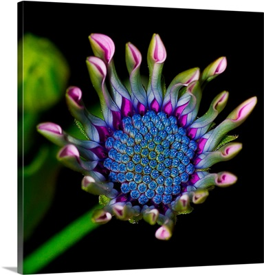 Emerging South African Daisy