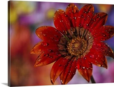 Garden Gerbera After The Rain