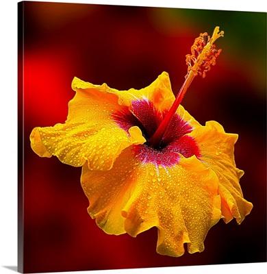 Gentle Hibiscus