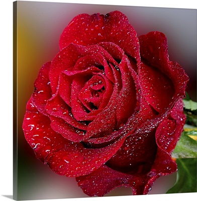 Gentle Red Rose