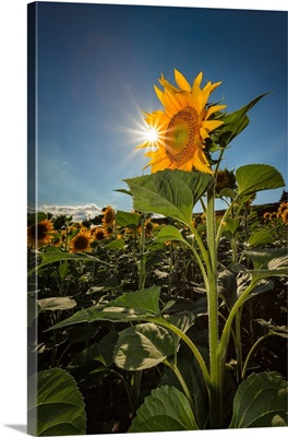 His Majesty the sunflower