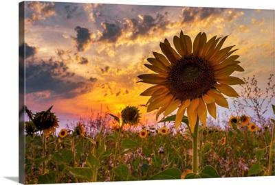 Last Sunflower in the Sunset