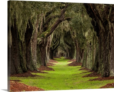 Long Path Through The Oaks To An Unknown Destination