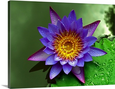 Lovely Waterlily